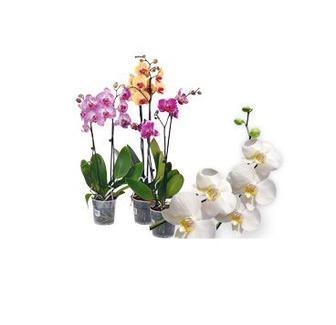 Орхідея мікс